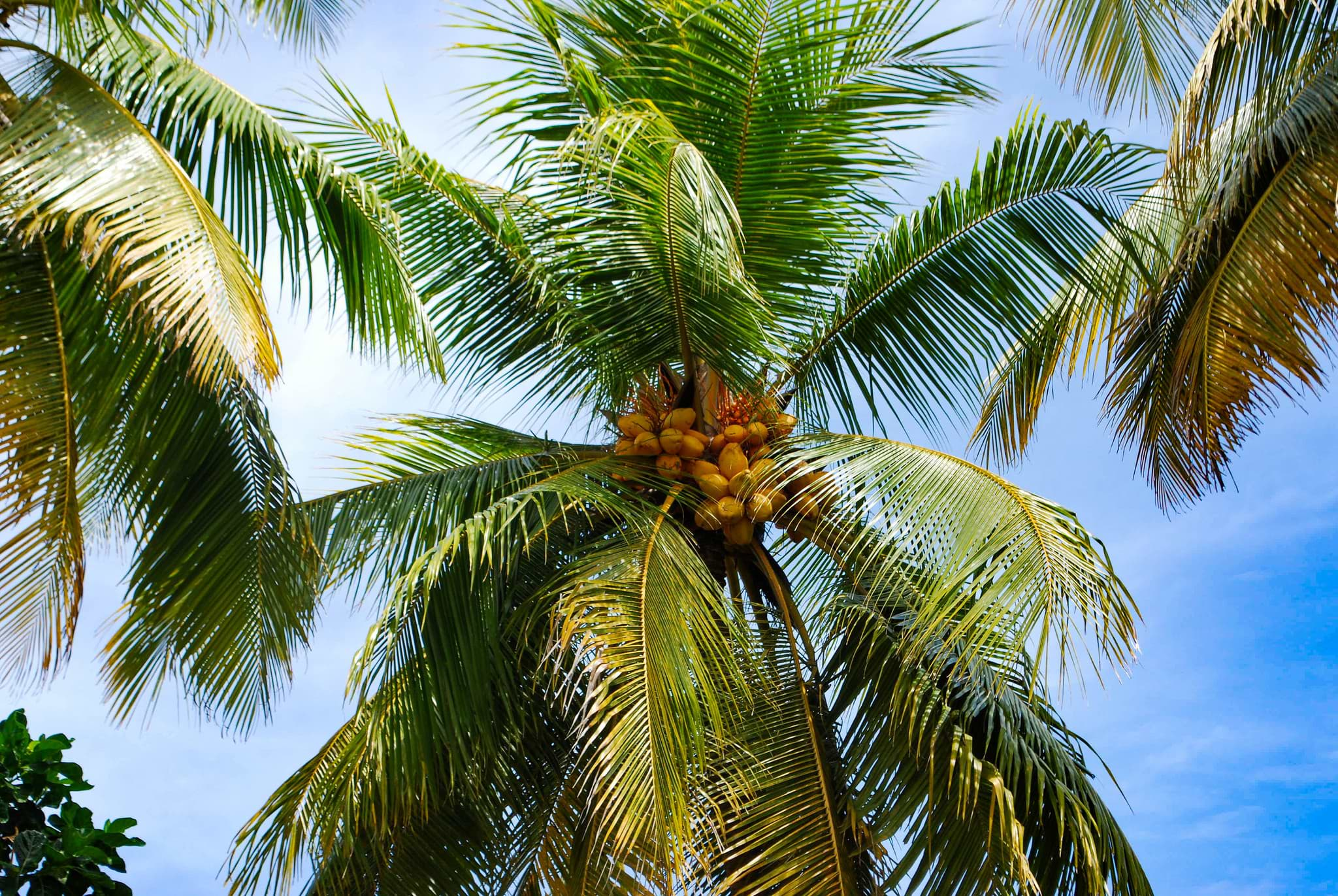 palm-fruits